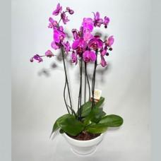 Taça de Flores orquídeas Pink
