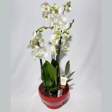 Taça de Flores orquídeas Elegância