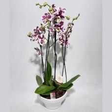 Taça de Flores orquídeas Fascínio